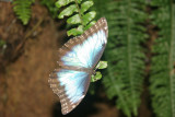 Blue Morpho, Butterfly Conservatory, Niagara Falls, Canada