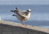 Pale Herring Gull - possibly European?