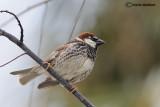 Passera sarda -Spanish Sparrow(Passer hispaniolensis)