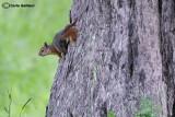 Scoiattolo di persia -Persian squirrel  (Sciurus anomalus)