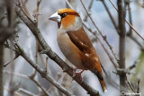 Frosone- Hawfinch (Coccothraustes coccothraustes)