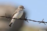 Pigliamosche-Spotted Flycatcher (Muscicapa striata)
