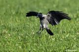 Cornacchia grigia -Hooded Crow (Corvus cornix)