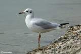 Gabbiano comune-Black-headed Gull  (Larus ridibundus)