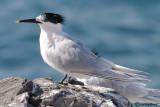 Beccapesci-Sandwich Tern (Sterna sandvicensis)