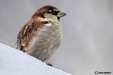 Passera d'Italia -Italian Sparrow(Passer italiae )
