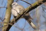 Tortora dal collare-Eurasian Collared Dove  (Streptopelia decaocto)