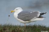 Gabbiano reale nordico-Herring Gull  (Larus argentatus)
