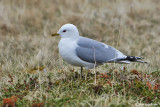 Gavina -Common Gull (Larus canus)