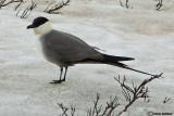 Labbo codalunga- Long-tailed Skua (Stercorarius longicaudus)