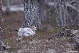 Lepre alpina-Mountain Hare (Lepus timidus)