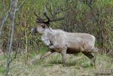 Renna-Reindeer  (Rangifer rangifer)