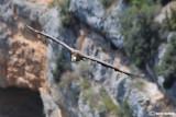 Grifone - Griffon Vulture (Gyps fulvus)