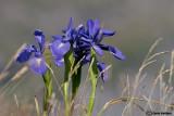 Iris lathyfolia