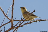 Canapino pallido-Eastern Olivaceous Warbler (Hippolais pallida)