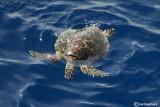 Tartaruga embricat- Atlantic Hawksbill  (Eretmochelys embricata)