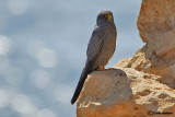 Falco unicolore-Sooty Falcon (Falco concolor)