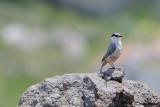 Picchio muratore di roccia -Western Rock Nuthatch(Sitta neumayer)