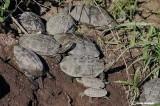 Clemmide balcanica -Balkan Terrapin ( Mauremys rivulata)