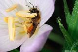 Andrena sp labiata