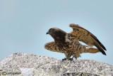 Biancone-Short-toed Eagle  (Circaetus gallicus)