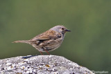 Passera scopaiola-Dunnock (Prunella modularis)