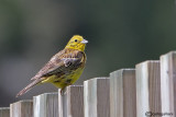 Zigolo giallo-Yellowhammer (Emberiza citrinella)