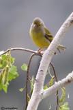 Venturone-Citril Finch(Serinus citrinella)