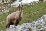 Camoscio appenninico- Apennine Chamois (Rupicapra pyrenaica ornata)