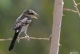 Averla mascherata -Masked Shrike(Lanius nubicus)