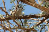 Beccamoschino inquieto-Scrub Warbler (Scotocerca inquieta)