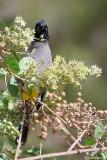 Bulbul ventregiallo (Pycnonotus xanthopygos)