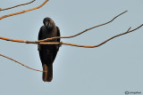 Corvo delle case -House Crow (Corvus splendens)