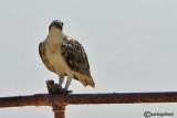 Falco pescatore-Osprey  (Pandion haliaetus)