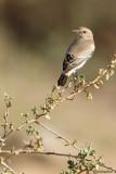 Monachella del deserto-Desert Wheatear (Oenanthe deserti))