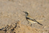 Monachella del deserto-Desert Wheatear (Oenanthe deserti)