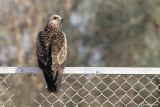 Nibbio bruno-Black Kite (Milvus migrans)