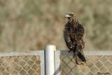 Nibbio bruno (Milvus migrans)