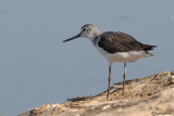 Pantana-Common Greenshank  (Tringa nebularia)