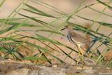 Pavoncella codabianca-White-tailed Lapwing  (Vanellus leucurus)