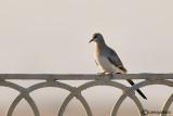 Tortora mascherata-Namaqua Dove (Oena capensis)
