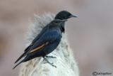 Storno di Tristram-Tristram's Starling  (Onychognathus tristramii)