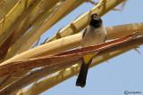 Bulbul ventregiallo-Yellow-vented Bulbul (Pycnonotus xanthopygos)