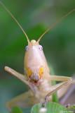 Ruspola nitidula