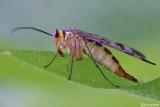 Mosca scorpione (Panorpa cognata )