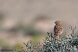 Calandrina-Lesser Short-toed Lark (Calandrella rufescens)