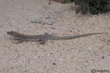 Atlantic Lizard  (Gallotia atlantica)
