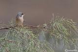 Sterpazzola di Sardegna-Spectacled Warbler (Sylvia conspicillata)