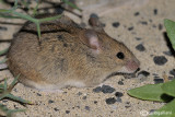 Topolino-House mouse  (Mus musculus)