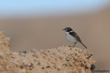 Saltimpalo delle Canarie-Fuerteventura Chat (Saxicola dacotiae)